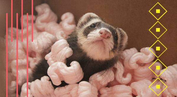 Kiddie Pool of Packing Peanuts = FERRET HEAVEN. [VIDEO]
