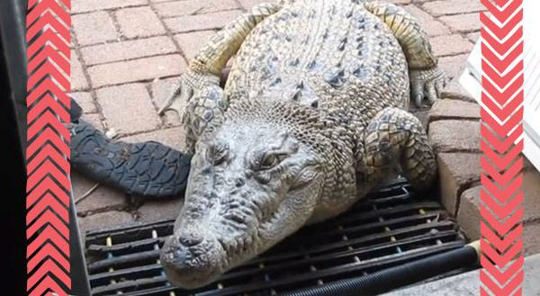 Meet Jilly, the Pet Crocodile! Yes, We're Serious. [VIDEO]