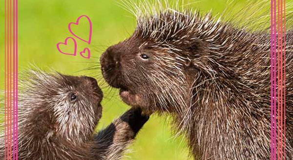 7 Strong Points Proving That Porcupines are the Perfect Pets