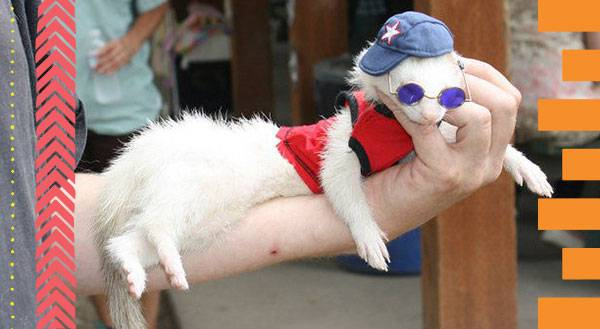 11 Ferrets Who Are More Fashionable Than Most Humans