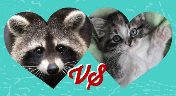Baby Raccoon and Kitten Fight… and Love Like Superheroes! [VIDEO]