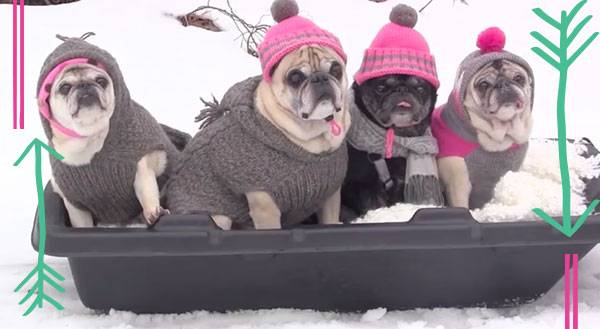 Cool Runnings, Pug Style [VIDEO]