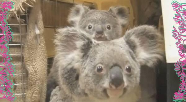 Baby Koala Vet Visit is So Cute It's SICK [VIDEO]