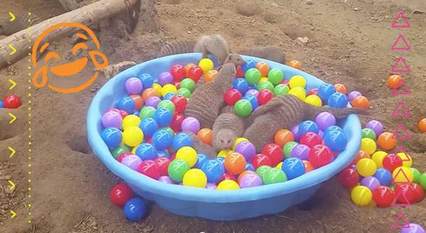 Who Knew Chuck E. Cheese's Opened A Ball Pit for Mongooses?