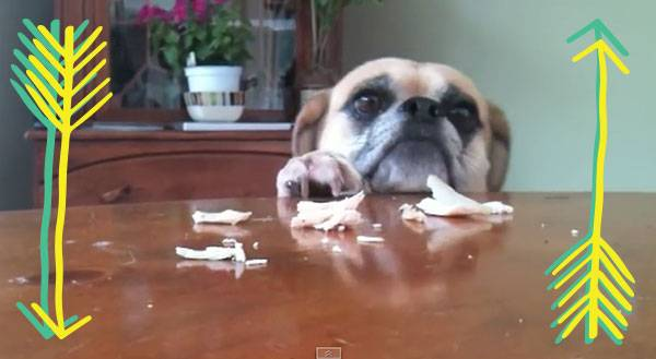 WATCH: Hangry Puggle Will Eat OR ELSE