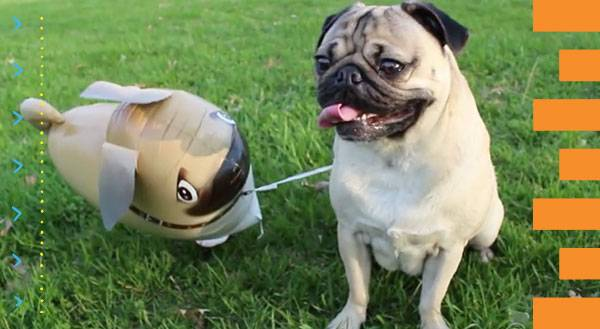 WATCH: Pug Loves His Balloon Doppelgänger