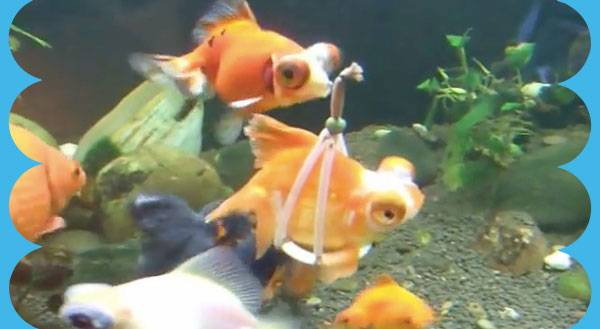 WATCH: Differently-Abled Goldfish Swims With a Harness!