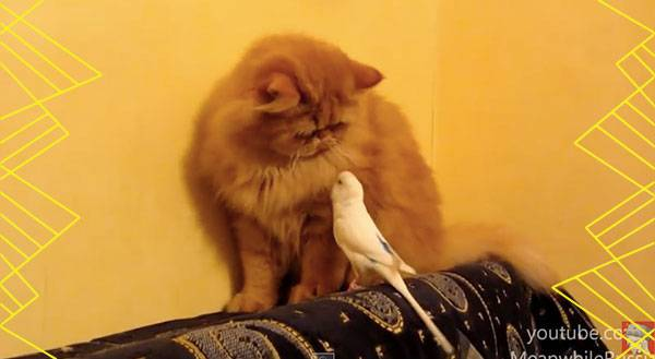 A Parrot Faces Off Against a Cat – Guess Who Wins [VIDEO]