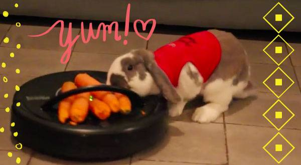Watch this Bunny Try to Chomp Down on a Roomba-bound Carrot