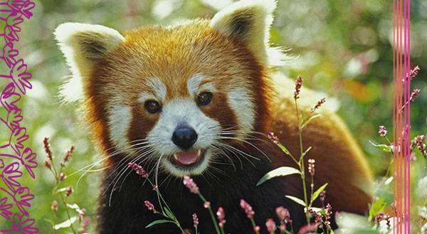 11 Reasons Why Red Pandas are Better Than Your Best Friend
