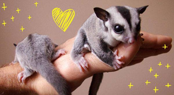 9 Reasons Sugar Gliders are the Sweetest Pets Ever
