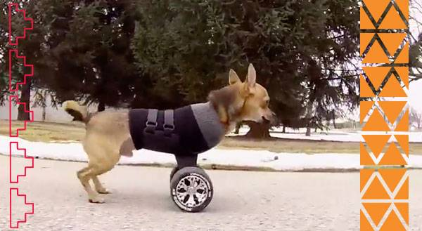 Two-Legged Pup Keeps Rollin' Along! [Video]